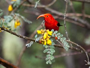 Hawaii bird_cropped